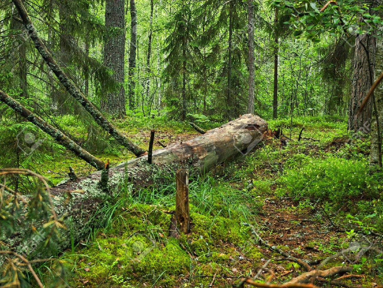 6980317-fallen-tree-covered-with-moss-lying-in-a-dense-forest-stock-photo