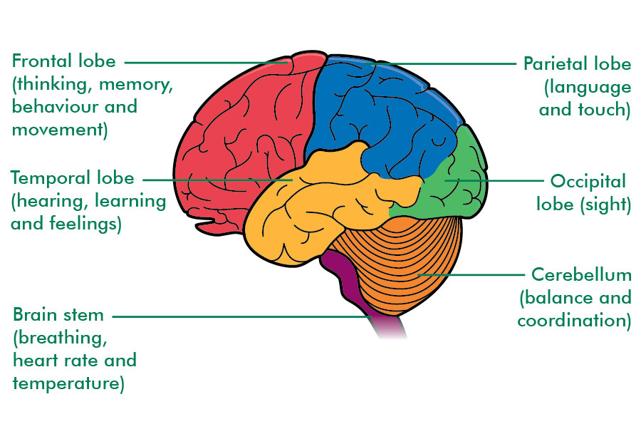 parts-of-the-brain-and-their-functions-the-brain-and-spinal-cord ...