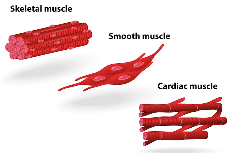 Muscle-structure-muscle-under-the-microscope